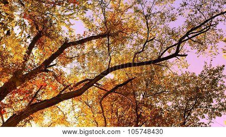 Orange Locust Tree Foliage. Looking up to the Sky.