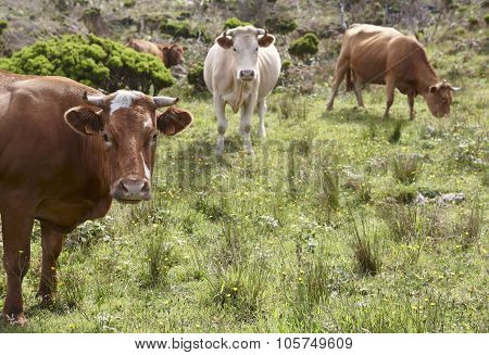 Registrated Cows On The Countryside In Flores Island. Azores, Portugal
