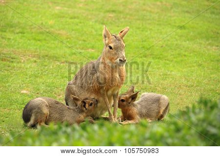 Patagonian Mara Breastfeeding It's Cubs