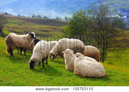 Flock of sheep grazing on mountain hill