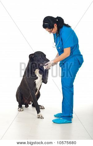 Big Dog Giving Paw To His Doctor