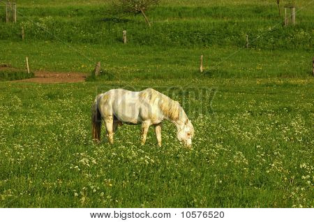 gray horse on the pasture