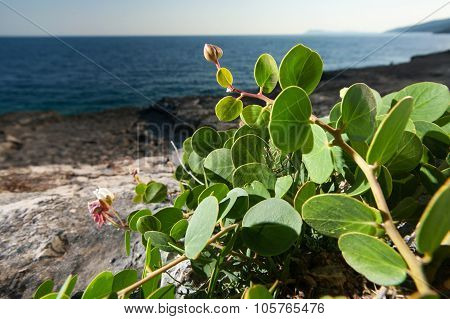 Capers Plant