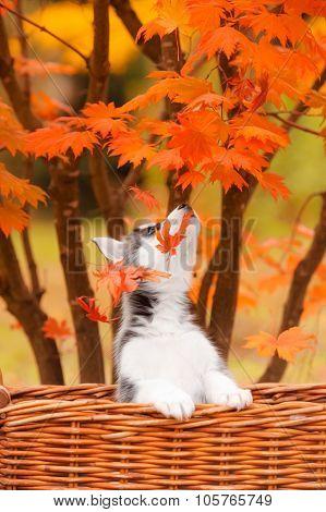 husky puppy in a basket