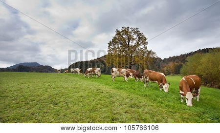 Simmental Cows On Meadow