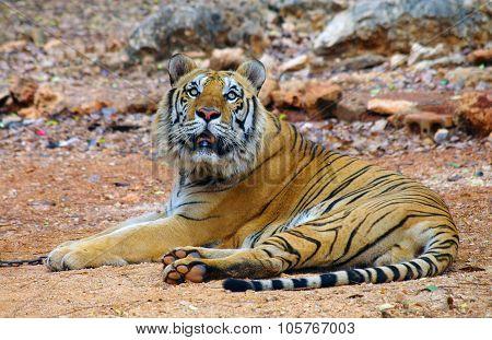 Kanchanaburi, Thailand - January 10, 2015: Tiger In Tiger Temple Kanchanaburi