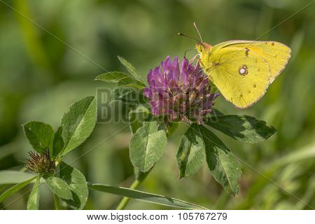Dark Clouded Yellow