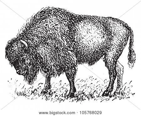 Bison, vintage engraved illustration. Dictionary of words and things - Larive and Fleury - 1895.