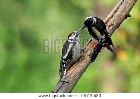 Great Spotted Woodpecker Feeds Chick