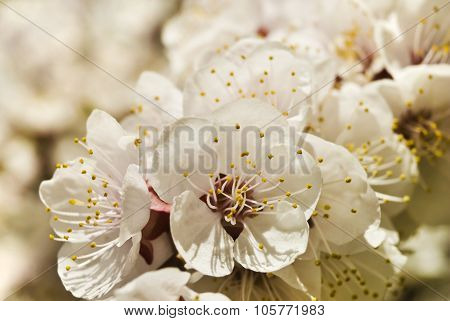 Flowering branch of apricot close-up in soft focus