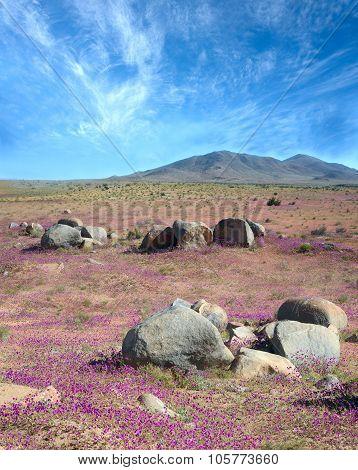 Phenomenon of Flowering desert in the Chilean Atacama