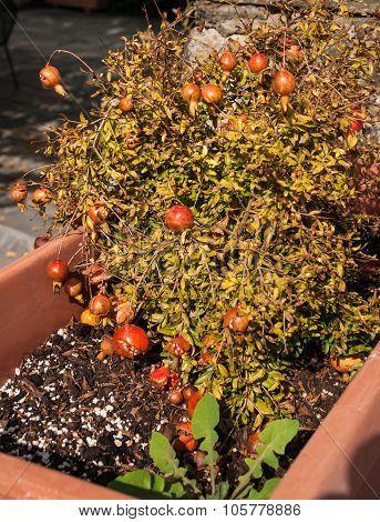 Pomegranate Mini