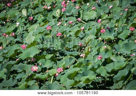 Lotus Bloom In The Delta Of The Volga, Russia