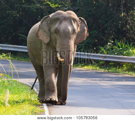Young Male Wild Elephant In Khao Yai National Park Important Natural Traveling Destination In Thaila