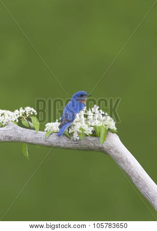 Male Eastern Bluebird in White Flowers