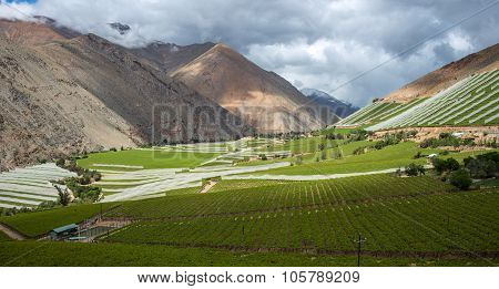 Spring Vineyard in the Elqui Valley, Chile
