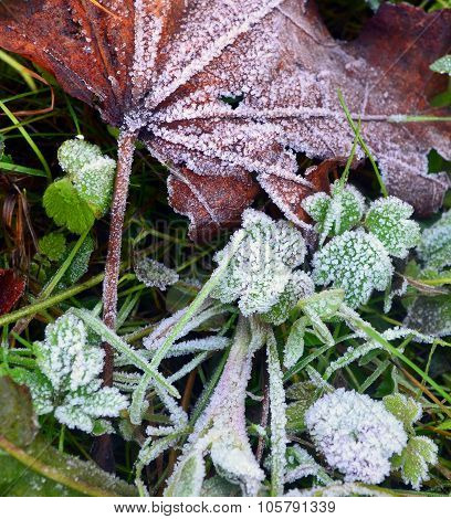 Hoarfrost On A Grass And A Dry Leaf Of A Maple After Morning Frosts