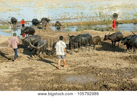 Asian Farmer, Grazing, Buffalo