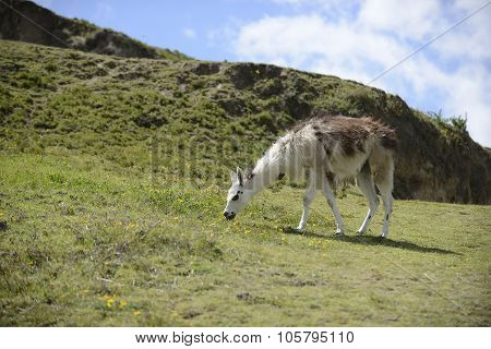 Llama on the Ecuadorian field.