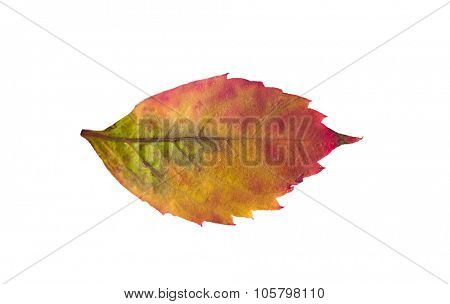 nature, season, autumn and botany concept - fallen grape leaf