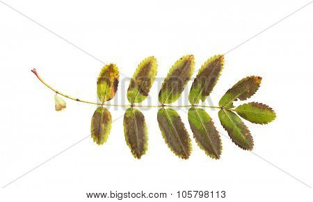 nature, season, autumn and botany concept - dry fallen rowan tree leaf