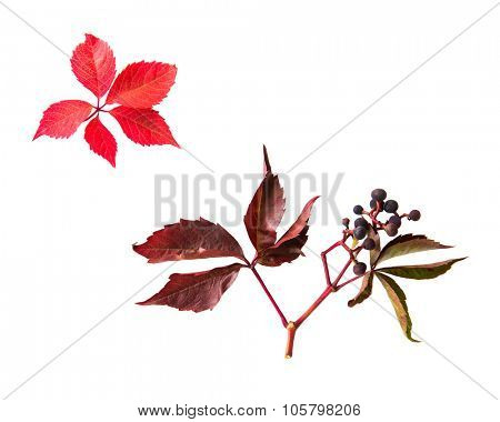 nature, season, autumn and botany concept - autumn grape leaves and vine bunch with berries