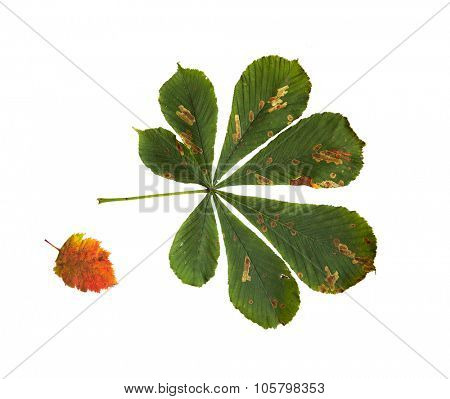 nature, season, autumn and botany concept - dry fallen chestnut tree leaf