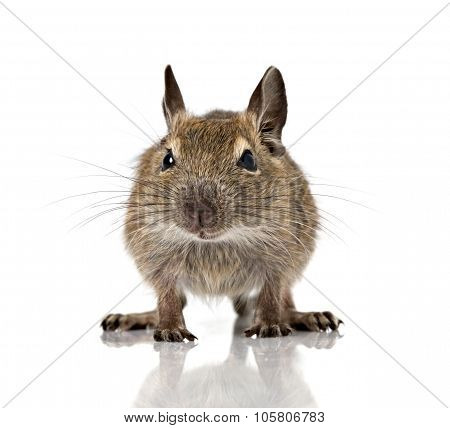 Cute Small Baby Rodent Degu Pet Closeup