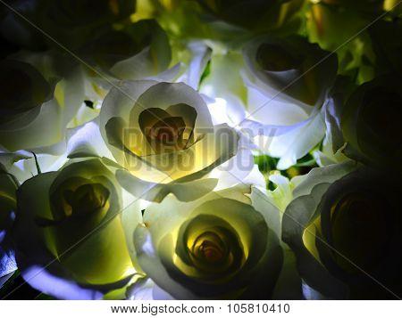 White Roses backlit