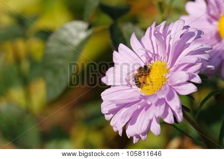 Blooming Asters, Bee