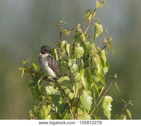 Eastern Kingbird In Tree