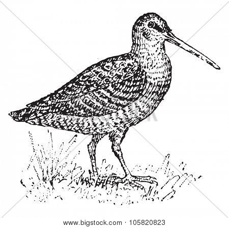 Woodcock, vintage engraved illustration. Dictionary of words and things - Larive and Fleury - 1895.