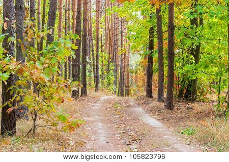 Footpath In The Pine Forest Autumn