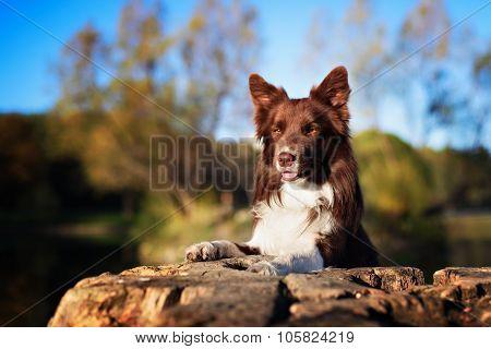 Red border collie dog