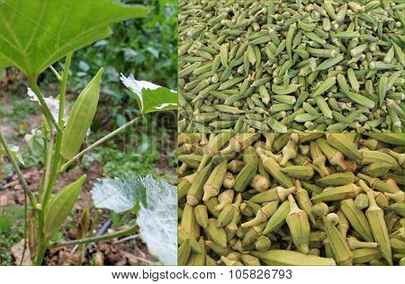 A relative of mallow - okra, okra, ladies fingers, vegetables on the bush and on the table