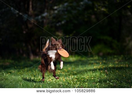 Border Collie dog catches the disc