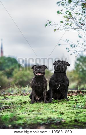 two staffordshire bull terrier dogs