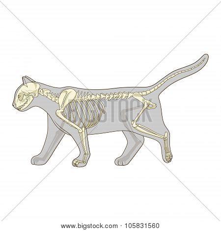 Cat skeleton veterinary vector illustration