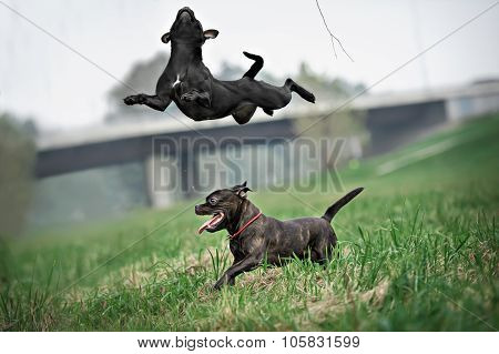 English staffordshire bull terrier running