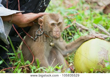 Farmer sits with monkey the coconut plantation at Koh Samui, Thailand.