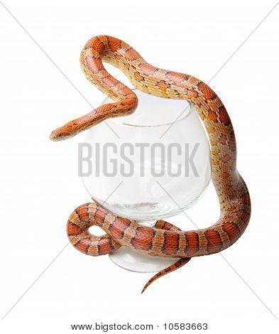 Corn Snake In A Glass On The White (elaphe Guttata)