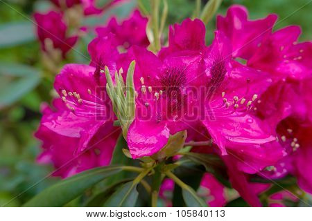 Red Azaleas In The Park, Close Up And Soft Focus
