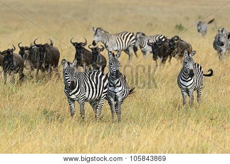 Zebra Masai Mara