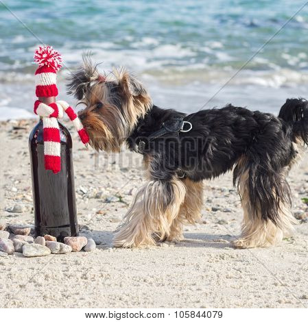 Funny Yorkshire Terrier Sniffs A Gift Bottle Of Wine In Knitted Hat And Scarf On The Beach.