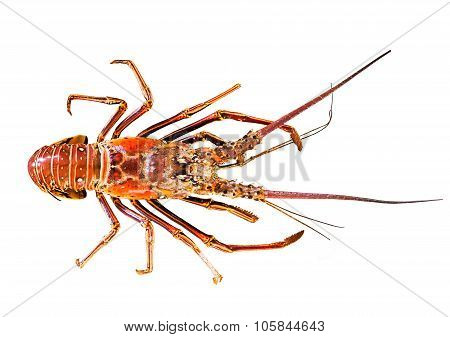 the great lobster isolated on white background
