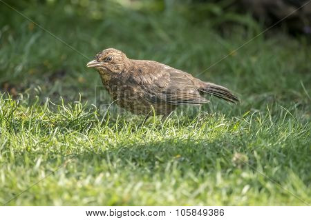 Blackbird, Turdus merula, standing on the grass