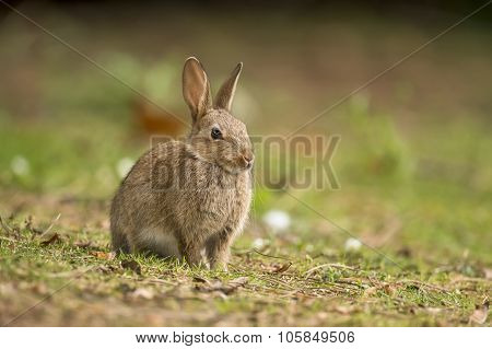 Grey Rabbit, Leporidae, juvenile, sitting on the grass