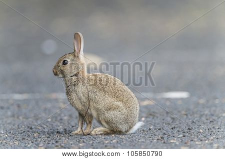 Rabbit, Leporidae, juvenile, sitting on the pavement