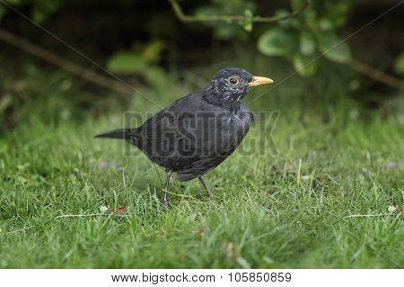 Blackbird, Turdus merula, male on the grass