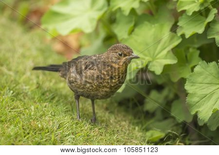 Blackbird Turdus merula juvenile standing on the grass